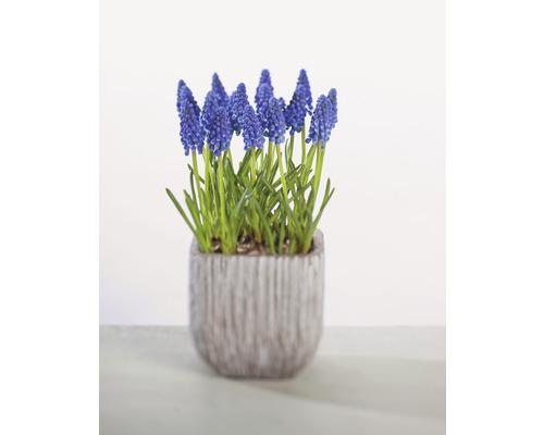 Jacinthe à grappes bleue FloraSelf Muscari botryoides ''Armeniacum'' pot Ø9cm