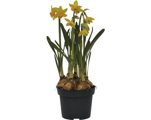 Narcisse jaune, narcisse trompette FloraSelf Narcissus pseudonarcissus ''Jet Fire'' pot Ø9cm