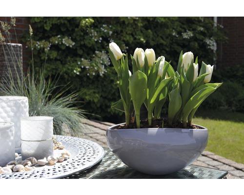 Tulipe FloraSelf Tulipa x Hybride ''Calgary'' pot Ø9cm