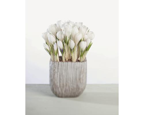 Crocus FloraSelf Crocus vernus ''Remembrance'' pot Ø12cm