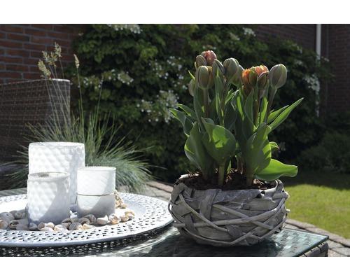 Tulipe FloraSelf Tulipa x Hybride ''Orange Princess'' pot Ø9cm