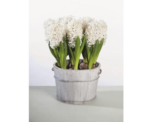 Jacinthe FloraSelf Hyacinthus orientalis ''White Pearl'' pot Ø12cm