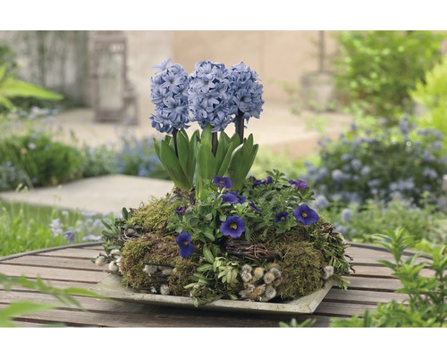 Jacinthe FloraSelf Hyacinthus orientalis ''Blue Star'' pot Ø12cm