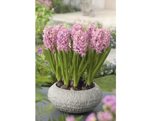 Jacinthe FloraSelf Hyacinthus orientalis ''Pink Pearl'' pot Ø12cm
