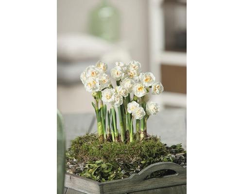 Narcisse jaune, narcisse trompette FloraSelf Narcissus pseudonarcissus ''Bridal Crown'' pot Ø 12 cm
