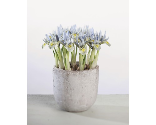 Iris réticulé FloraSelf Iris reticulata ''Katharina Hotchkin'' pot Ø12cm