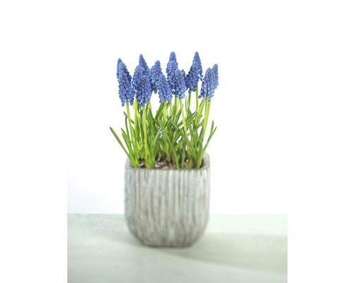 Jacinthe à grappes FloraSelf Muscari botryoides ''Armeniacum'' pot Ø 12 cm