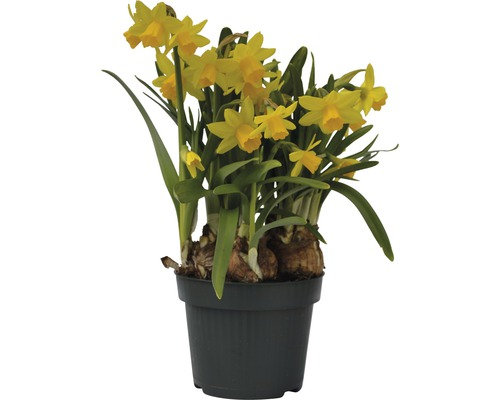 Narcisse jaune, narcisse trompette FloraSelf Narcissus pseudonarcissus ''Tête à Tête'' pot Ø 12 cm