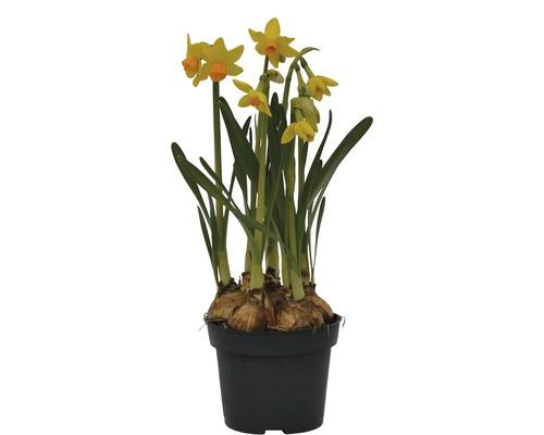 Narcisse jaune, narcisse trompette FloraSelf Narcissus pseudonarcissus ''Jet Fire'' pot Ø 12 cm