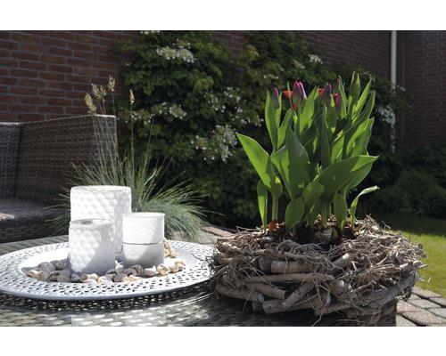 Tulipe FloraSelf Tulipa x Hybride ''Movie Star'' pot Ø 12 cm